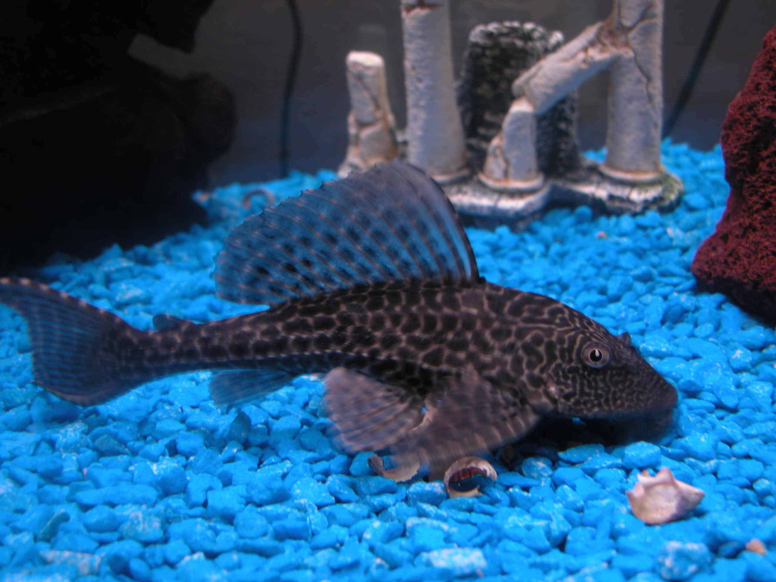 A fish in blue colored artificial aquarium pebbles https://commons.wikimedia.org/wiki/File:2004-02-02_Pterygoplichthys_pardalis_on_blue_gravel.jpg