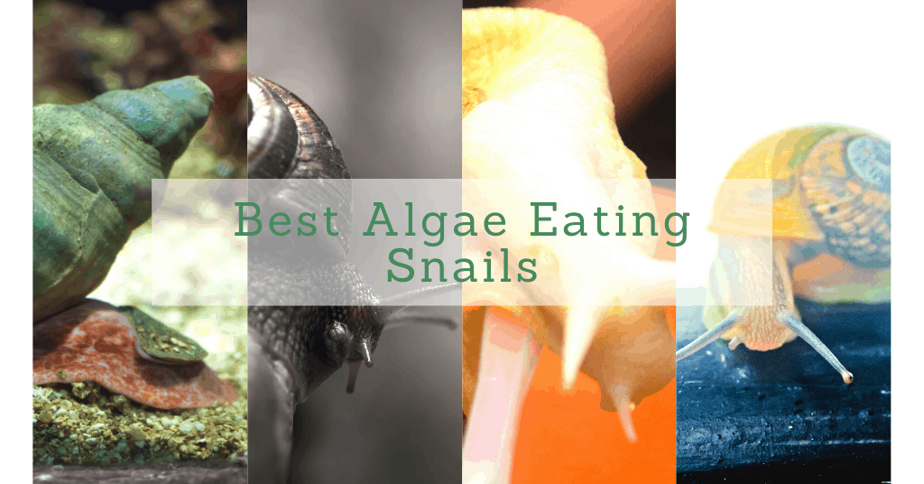 What Are The Best Algae-Eating Snails?