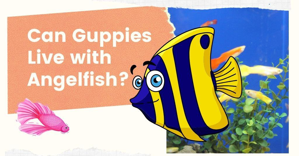 Can Guppies Live with Angelfish