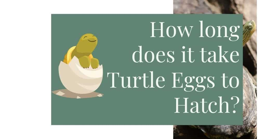 How long does it take Turtle Eggs to Hatch