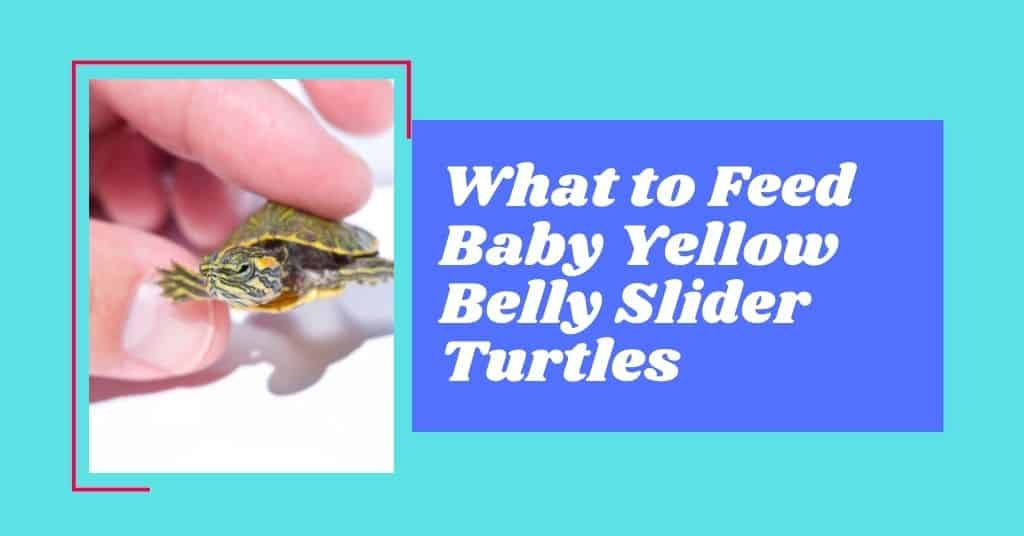 What to Feed Baby Yellow Belly Slider Turtles