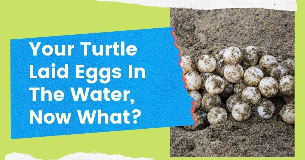 Your Turtle Laid Eggs In The Water, Now What?
