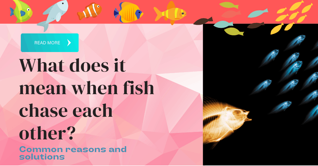what does it mean when fish chase each other