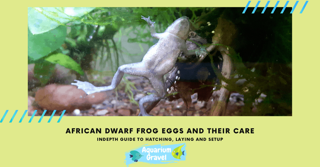 African Dwarf Frog Eggs and Their Care