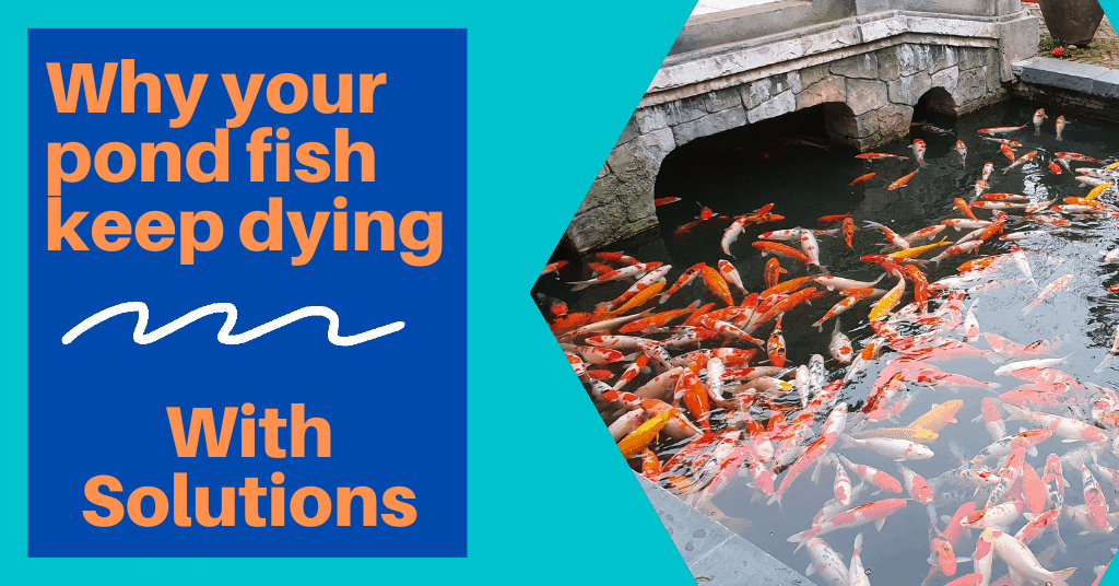 Why your pond fish keep dying - With Solutions
