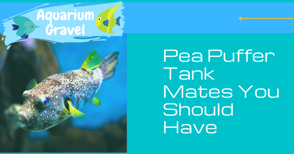 Pea Puffer Tank Mates You Should Have