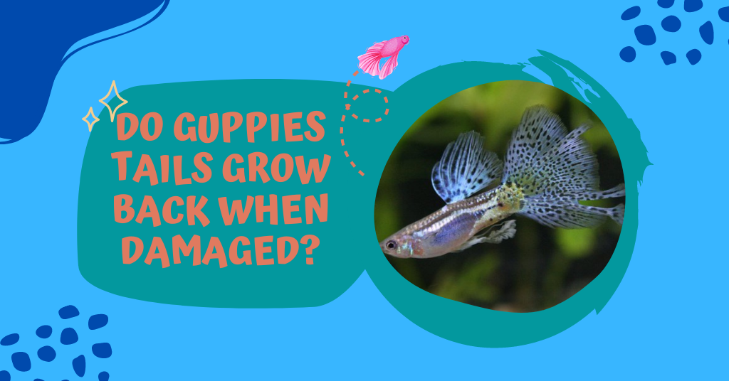 do guppies tails grow back
